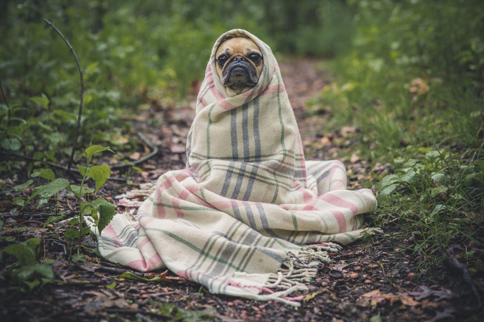 blanketpug